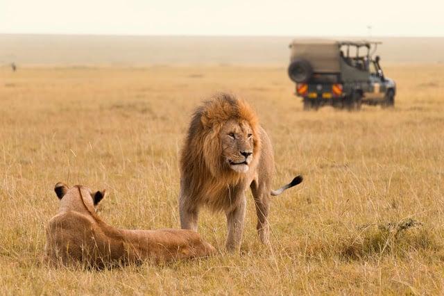 un safari en Afrique avec des lions