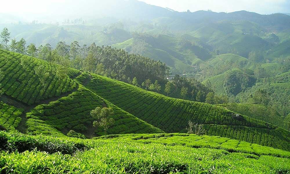 Traditours-visite-plantation-Inde-the
