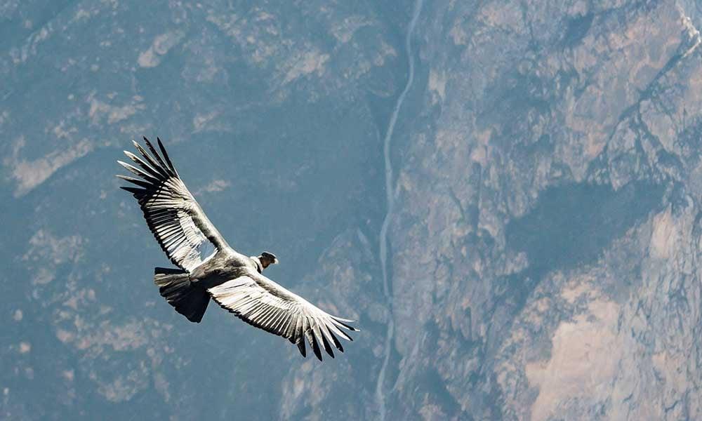Andes-embleme-condor