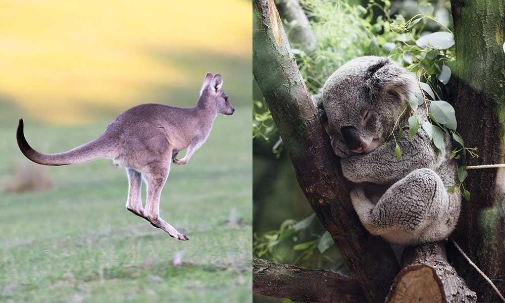 Australie-emblemes-kangourou-koala