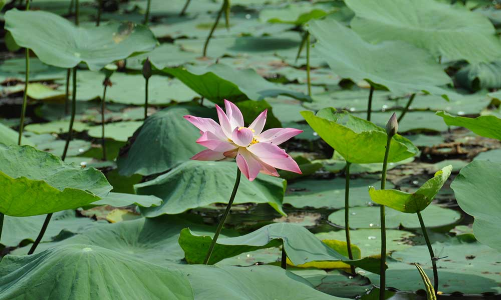 Vietnam-Inde-embleme-fleur-lotus